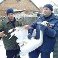 В Радомишлі чоловік зголосився доглядати лебедів, які залишилися зимувати на річці