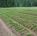 У Попільнянському районі збираються виростити 1 мільйон сіянців лісових порід