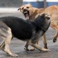 У Житомирі бігають зграї скажених безпритульних собак