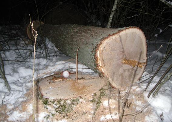 """""""Чорні лісоруби"""" продовжують знищувати дерева в Коростенському районі"""