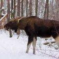 До уваги житомирських мисливців: в Україні на 25 років встановили заборону на полювання лося