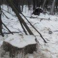 У Малинському районі порушники зрубали 8 дубів, чим завдали школи лісу на 141 тис. грн.