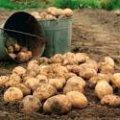 Жителька Чуднова з однієї картоплини збирає півтора відра врожаю