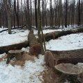 На Житомирщині підпільні лісоруби залишили серед лісу 7 зрізаних дубів, а самі втекли з місця події