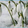На 8 Марта подснежников не будет по политическим причинам