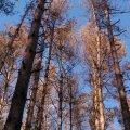 Через всихання лісів на Житомирщині минулоріч вирубали 3 гектари насаджень