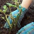 У Радомишльському районі молодик вкрав у односельчанки 15 саджанців черешні та 10 саджанців троянд