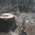 У Ружинському районі зловмисники зрубали 12 дерев, які вивезли у Вінницьку область