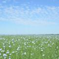 Аграрії Житомирщини можуть отримати дотацію на вирощування льону та гречки