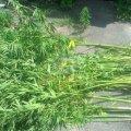 Поліція вилучила із городів жителів Житомирщини рослини маку та коноплі