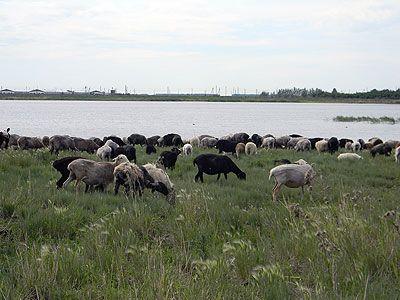 У Пулинському районі через голод і спрагу вівці потерпають від недогляду. ВІДЕО