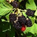 Ця ягода захищає від раку