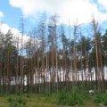 Від всихання лісів на Житомирщині найбільше потерпають ялини та дуби