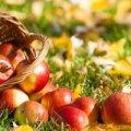 Восьмого серпня заготовляють лікарські трави та яблука