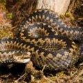 Від початку року 6 жителів Житомирської області постраждали від укусів змій