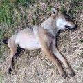 Мисливець з Баранівського району застрелив вовка, який пошматував 8 овець