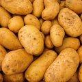 Урожай картофеля в Украине ожидается на уровне 9,3 млн т