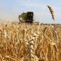 В Житомирській області ранніх зернових зібрали трохи менше, ніж торік