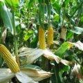 Ще в одному районі Житомирської області виявили кукурудзяного жука та запровадили карантин