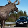В Малині лось потрапив під колеса вантажівки