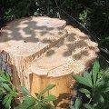У Малинському районі підпільні лісоруби зрізали 15 дубів і успішно їх вивезли