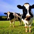 За чисельністю поголів'я худоби Житомирська область займає 5 місце, – агроуправління