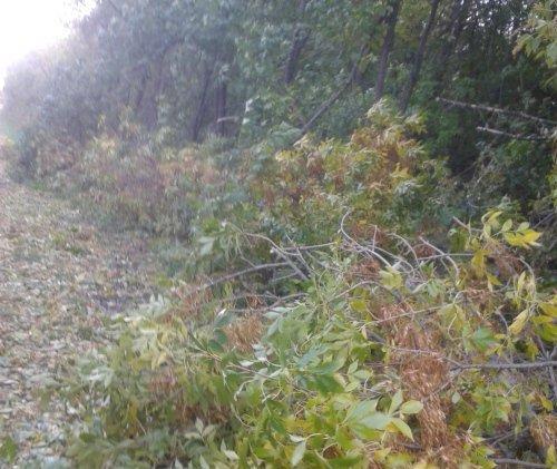 Повалене дерево на Житомирщині перекрило трасу Попільня - Брусилів