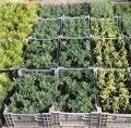 Лісгосп у Баранівському районі продає туї, форзицію, самшит  та інші декоративні рослини