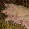 Білорусь обмежила ввезення свинини з Житомирщини через АЧС