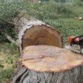 Для нової тролейбусної лінії в Житомирі зріжуть майже сотню дерев