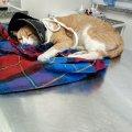 Житомиряни збирають кошти на лікування котика, якого побили шваброю мешканці багатоповерхівки