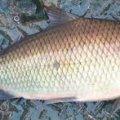 За тиждень Житомирський рибоохоронний патруль «наловив» більше 100 кг риби