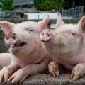Жителям села в Житомирській області до весни заборонили вирощувати свиней