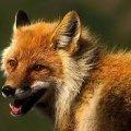 У Баранівці скажена лисиця напала на собаку: у місті ввели карантинні обмеження