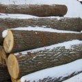 """На Житомирщині """"чорні"""" лісоруби вивезли десяток дубів з-під носа у лісівників"""