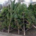 Де в Житомирі відкриються перші ялинкові ярмарки та скільки коштуватимуть дерева