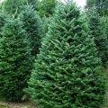 Походження новорічного дерева жителі Житомирщини можуть перевірити за штрих-кодом