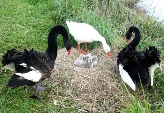 У Новій Зеландії сліпий бісексуальний гусак помер у віці 40 років. ФОТО