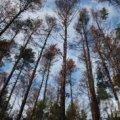 Радомишльський міськвиконком планує надати дозвіл на вибіркову санітарну рубку лісу на площі майже 100 га