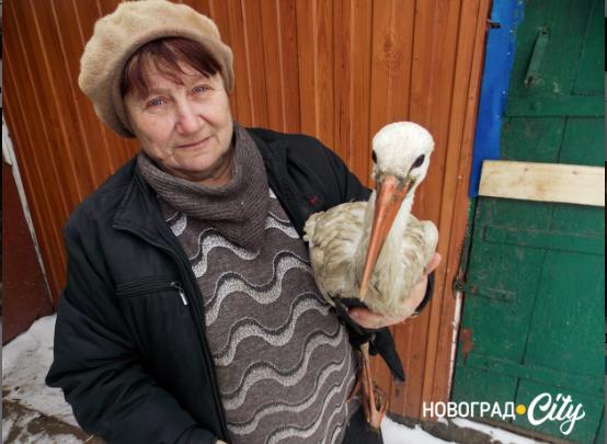У Новоград-Волинському районі подружжя пенсіонерів прихистили замерзлого лелеку. Тепер птах живе з к ...