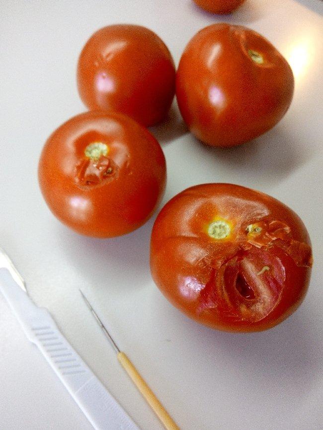 Із черв'яками та гниллю: житомирські інспектори повернули назад у Туреччину імпортовані помідори