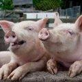 На фермі виправної колонії в Житомирській області від чуми здохло троє свиней, - Держпродспоживслужба