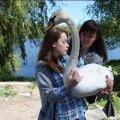 У Бердичеві на волю випустили лебедя, якого місяць тому знайшли із пораненою лапкою
