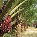 Небезпечна лише для українців? Чому ЄС не забороняє пальмову олію