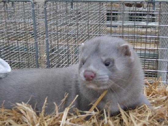 У Житомирі захисники тварин вийдуть до стін ОДА проти будівництва ферми норок