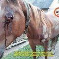 Дикая средневековая жестокость: пьяный водитель Уаз привязал коня и таскал по асфальту