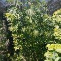 На Житомирщині поліцейські виявили незаконні посіви нарковмісних рослин