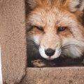 У Бердичівському районі зловили скажену лисицю