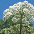Мешканці Житомирщини потерпають від небезпечної рослини