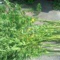 У Ємільчинському районі затримали 49-річну жінку за вирощування маку на городі, а в Малинському – 41-річного мешканця, який вирощував коноплю